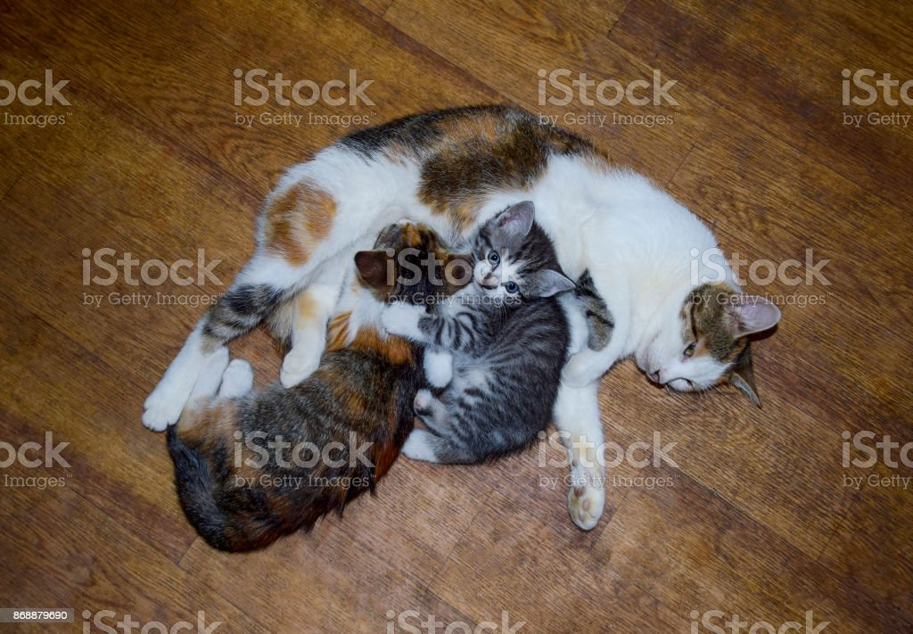 Calico cat feeding kitten milk. Breast-feeding. Kittens cat suck tits stock photo