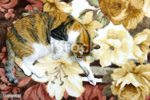 Calico cat hide and seek at home