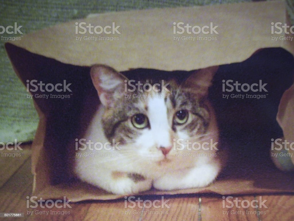 Calico Cat in Paper Bag stock photo