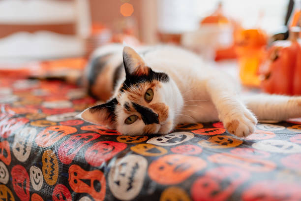 Calico cat laying on table at Halloween party Calico cat lounging on Halloween party table halloween cat stock pictures, royalty-free photos & images