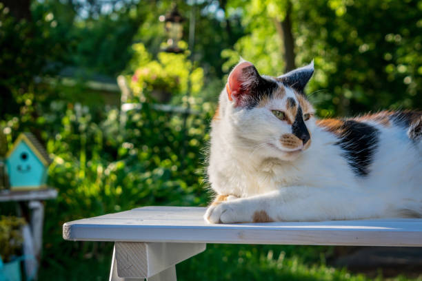 Calico cat on a bench in the backyard Calico cat enjoying a summer day in the backyard garden tortoiseshell cat stock pictures, royalty-free photos & images