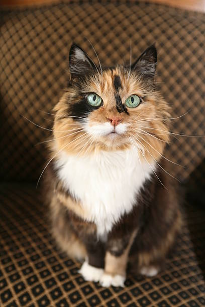 calico cat on chair a green eyed calico cat looks up from a comfy chair tortoiseshell cat stock pictures, royalty-free photos & images