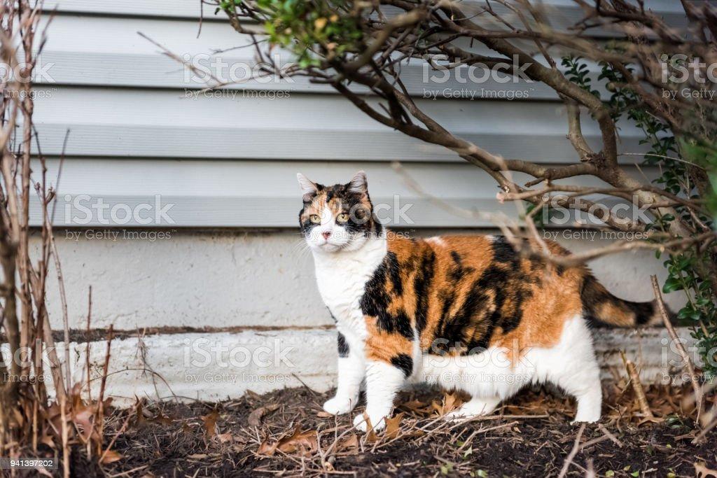 Fotografía de Calico Cat Fuera Cara Verde Jardín Bajo Arbustos Ojos ...