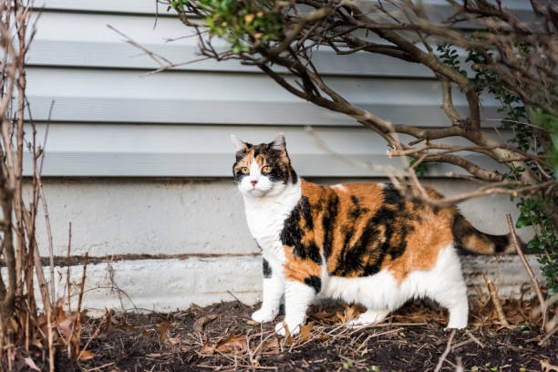 Calico cat outside green garden face under bushes curious hunting on picture id941397202?b=1&k=6&m=941397202&s=612x612&w=0&h=hnjq6gwpipfeaclg5sjktvothzv9fld8n6v2zcn8lhe=