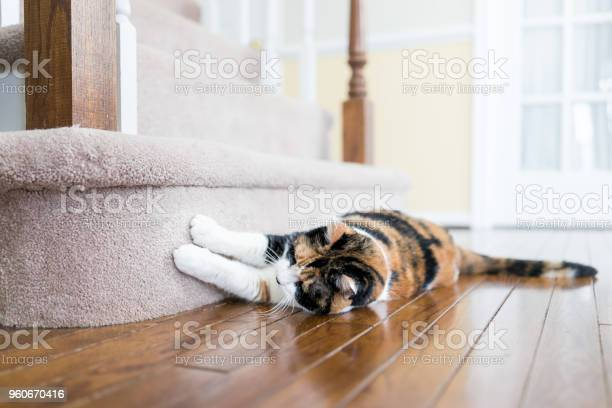 Calico cat scratching nails on carpet floor stairs steps staircase picture id960670416?b=1&k=6&m=960670416&s=612x612&h=ecqhouy4fht4yomer1 jkleanfpulra gar3lnalt7a=