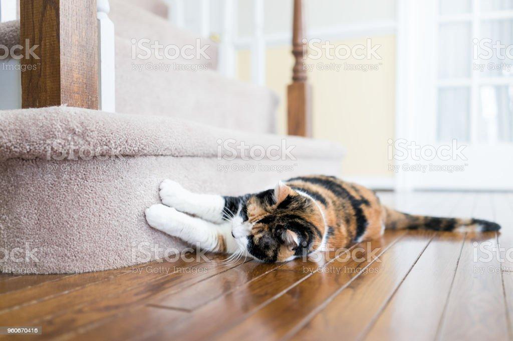 Gato malhado, arranhar as unhas no tapete andar escadas degraus escada dentro da casa interior, casa, destruí-lo - foto de acervo