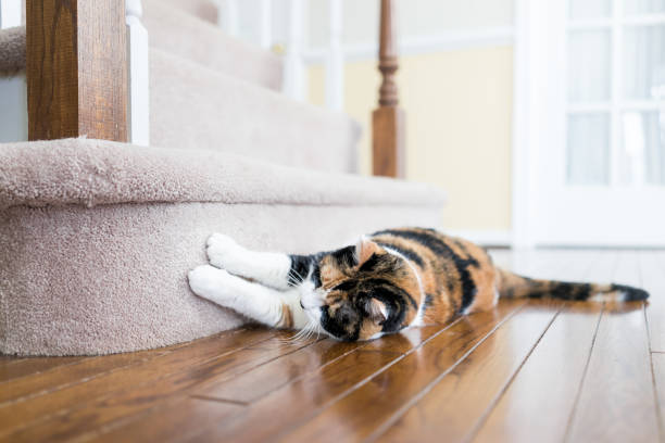 calico cat scratching nails on carpet floor stairs steps staircase inside indoor house, home, destroying it - scratching stock photos and pictures