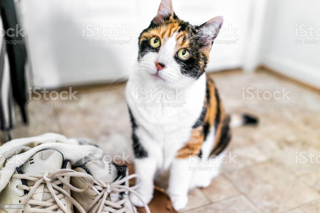 Calico Katze Sitzt Durch Schuhe Turnschuhe Nachschlagen Mit Lustigen ...