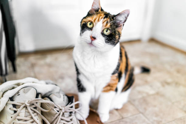 Calico cat sitting by shoes sneakers looking up with funny expression, big eyes, asking, begging for food Calico cat sitting by shoes sneakers looking up with funny expression, big eyes, asking, begging for food tortoiseshell cat stock pictures, royalty-free photos & images