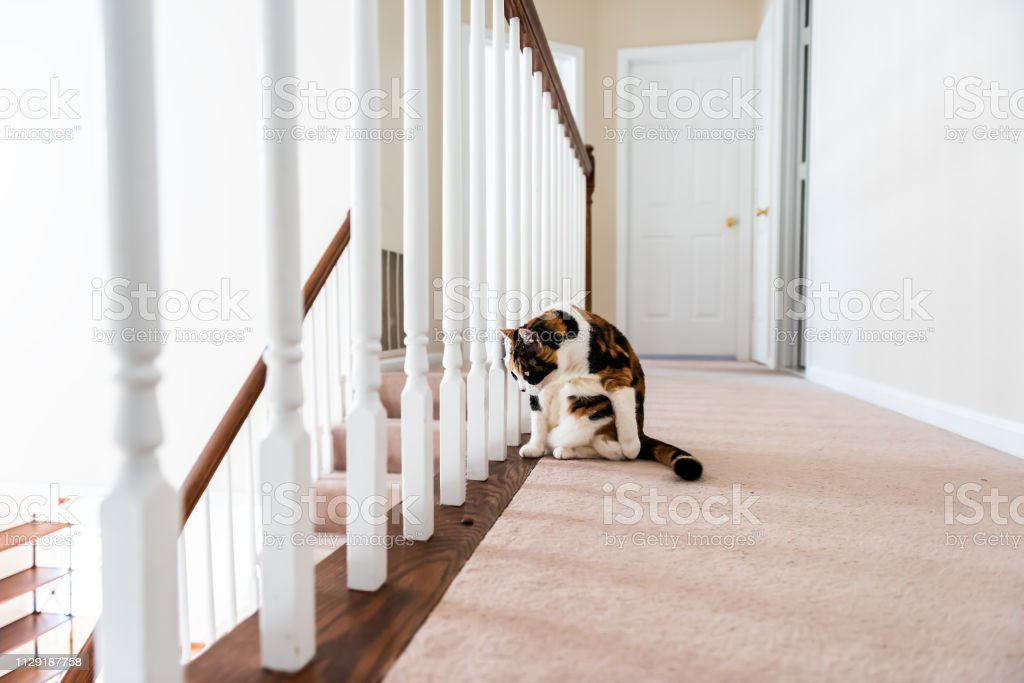 Calico cat sitting on carpet floor curious distracted looking in home room by railing stairs grooming fur in hall hallway of house stock photo