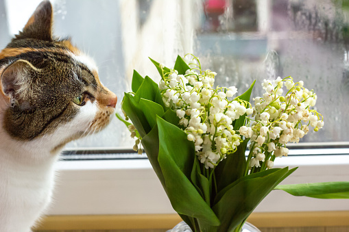 Calico cat sniffs bouquet of white Convallaria flowers in glass vase. Lily of the valley and cute kitty, selective focus