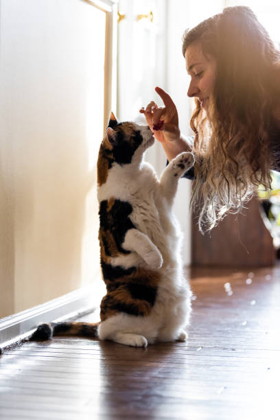 calico cat standing up on hind legs asking for food meat treat in room doing trick with front paw and happy owner woman face hand feeding - потакание своим желаниям стоковые фото и изображения