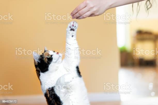 Calico cat standing up on hind legs begging picking asking food in picture id994829172?b=1&k=6&m=994829172&s=612x612&h=nmmwuyq ohiutzvaud9werdpjmafx8 uwrjnet4uruy=