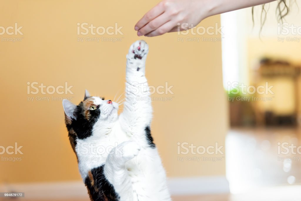 Calico cat standing up on hind legs, begging, picking, asking food in living room, doing trick with front paw, claws with woman hand holding treat, meat stock photo