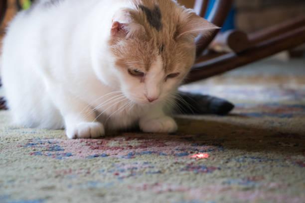 Calico cat staring down laser picture id697712958?b=1&k=6&m=697712958&s=612x612&w=0&h=iuwg5erapvs3o4dxkps5i2ovas5iqcyebvei9xof9ag=