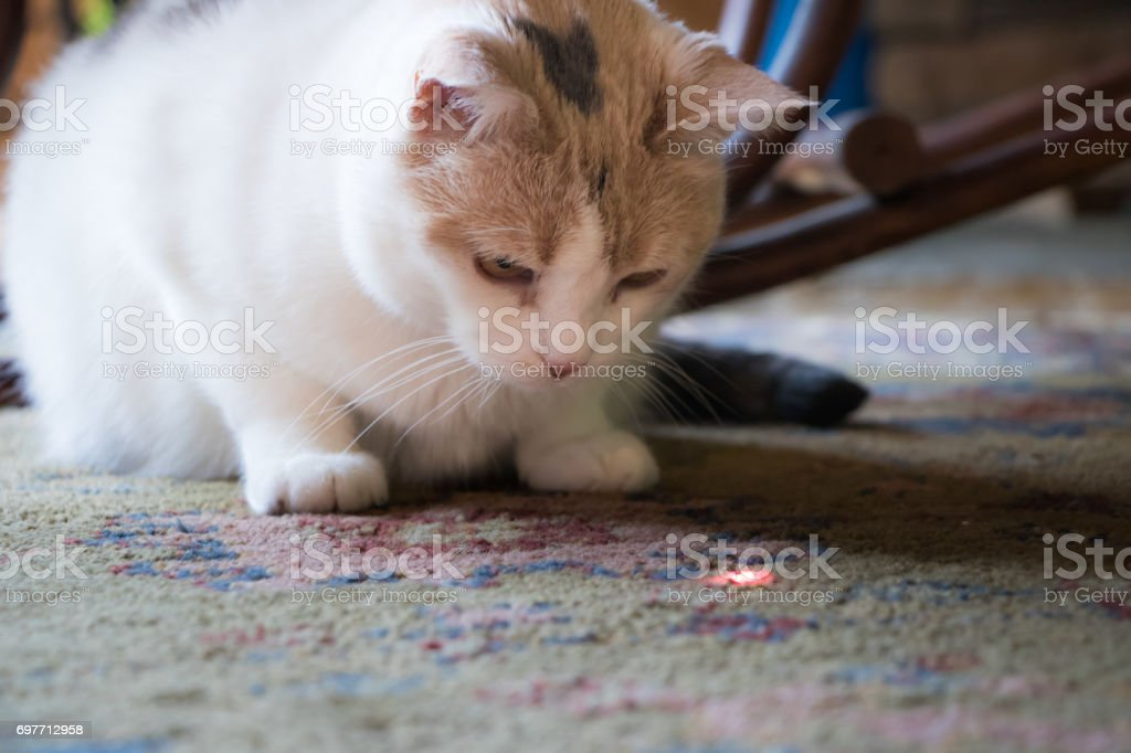 Calico Cat Staring Down Laser stock photo