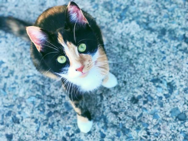 Calico cat with green eyes Calico cat outside with green eyes tortoiseshell cat stock pictures, royalty-free photos & images