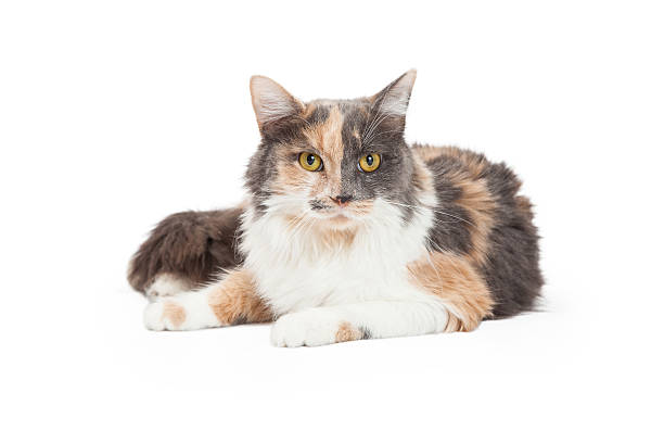 Calico Domestic Longhair Cat Laying A beautiful Calico Domestic Longhair Cat laying at an angle while looking forward. tortoiseshell cat stock pictures, royalty-free photos & images