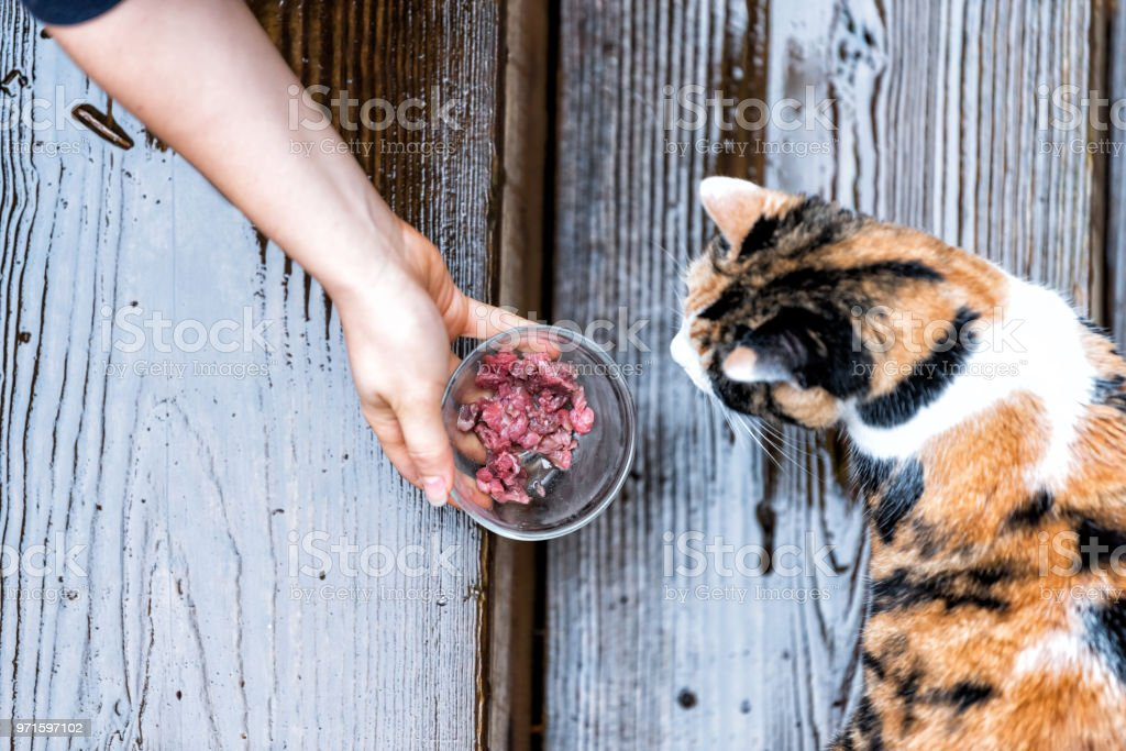 Calico homeless stray cat curious exploring house backyard by wooden deck, garden, wet wood territory, smelling scent sniffing woman hand girl feeding bowl of meat food stock photo