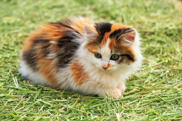 Calico Kitten on Hay A cute calico kitten sits on a farm hay bale. tortoiseshell cat stock pictures, royalty-free photos & images