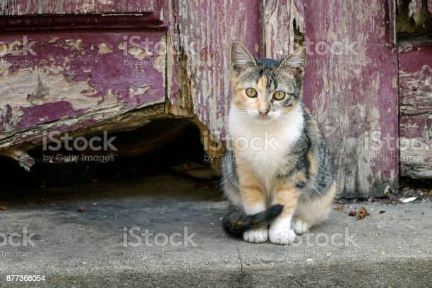 Calico kitten standing in front of old wooden door picture id877368054?b=1&k=6&m=877368054&s=612x612&h=7wv8x4r14qy 7pjkfv qcwfxfhdiy2a67sh6edjt4eq=
