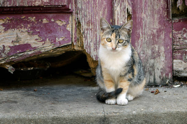 Calico kitten standing in front of old wooden door picture id877368054?b=1&k=6&m=877368054&s=612x612&w=0&h=oqnmaw1bfym50u0wvkqcl3 nk4x1svp awnuntg dem=