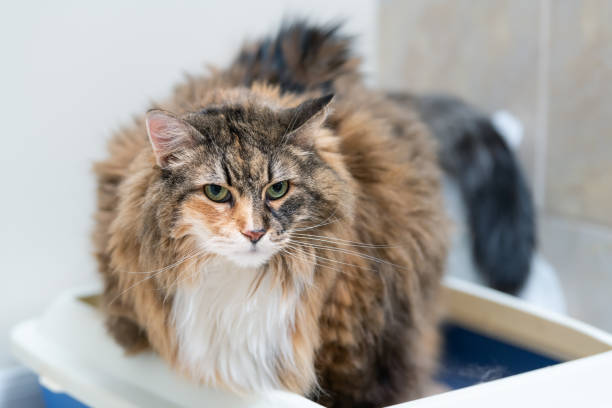 Calico maine coon cat overweight constipated sick after megacolon, enema, trying to go to the bathroom in blue litter box at home sad looking eyes stock photo