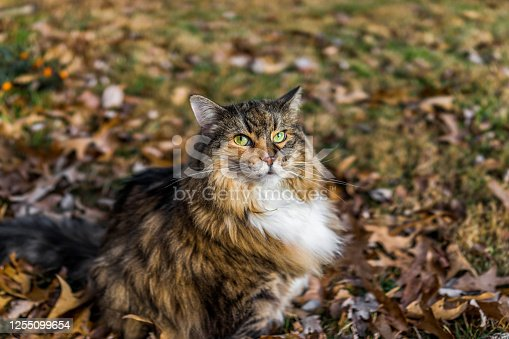 Calico maine coon cat with green eyes sitting outside in fallen brown autumn fall foliage leaves on lawn looking up with pedigree mane neck ruff
