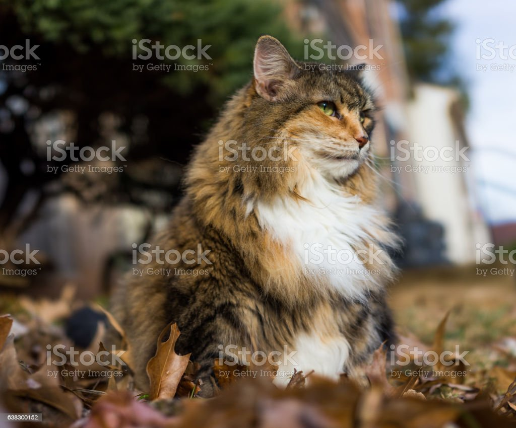 Calico maine coon cat with green eyes sitting outside stock photo