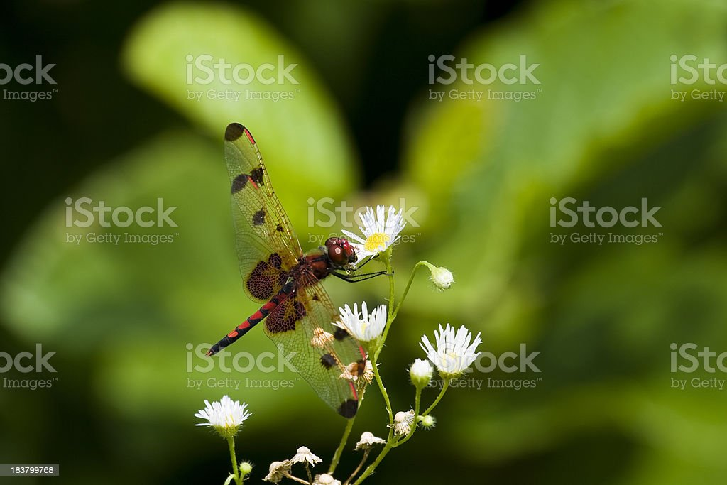 Calico Pennant Dragonfly (Male) on White Flowers stock photo