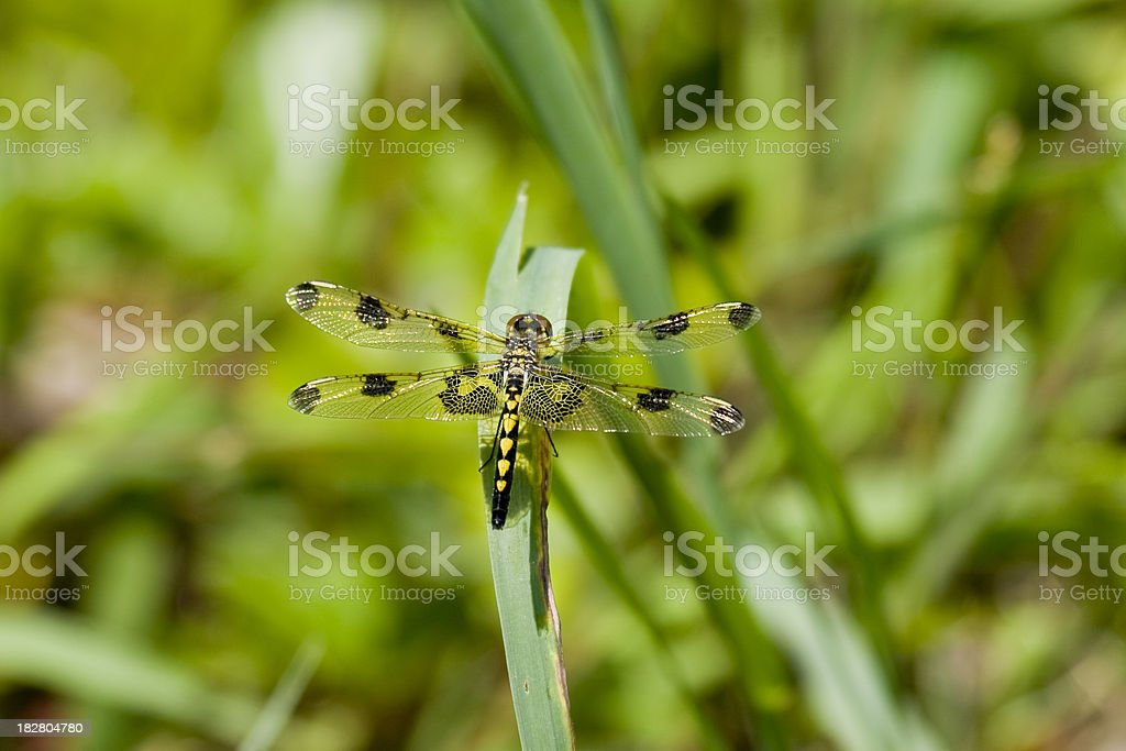 Calico Pennant Dragonfly (Female) stock photo