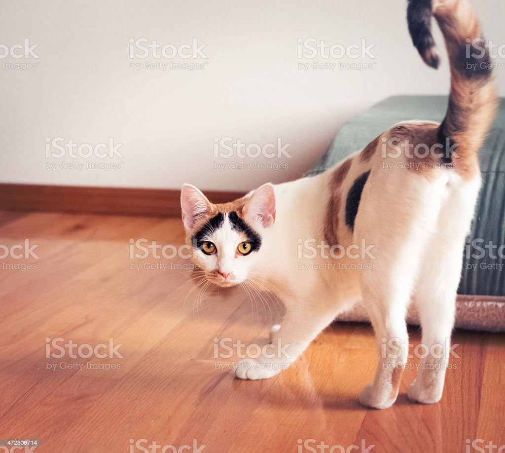 Calico pet house cat standing & looking at camera stock photo