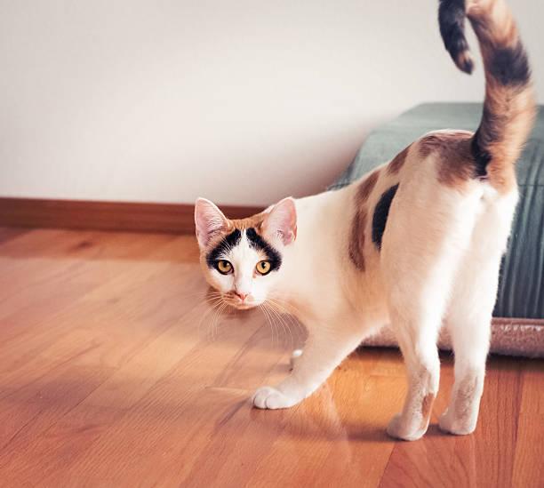 Casa de Calico pet cat standing & mirando a la cámara - foto de stock