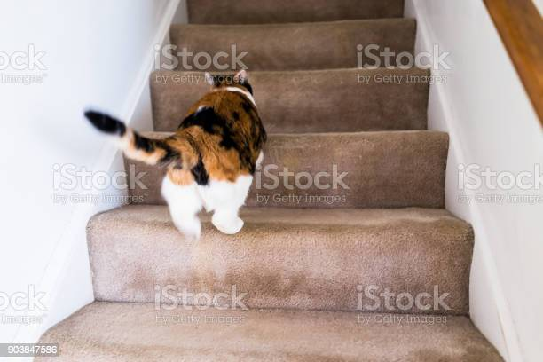 Calico white and ginger cat running up carpet stairs inside indoor picture id903847586?b=1&k=6&m=903847586&s=612x612&h=lqm 7nxm1ocodgdtifyd98tuevdqj8ev7qxqderujdq=