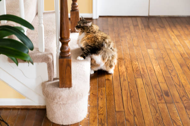 Calico white and orange cat running up carpet stairs inside indoor home funny pose stock photo