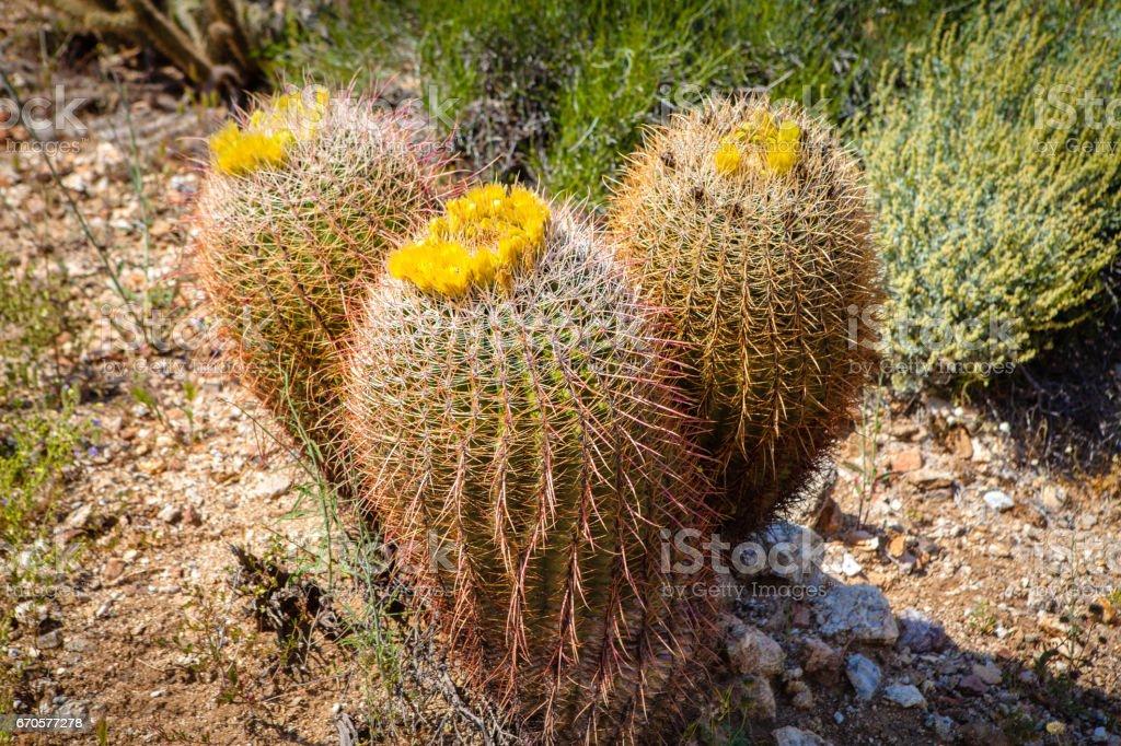 California Barrel Cacti (Ferocactus cylindraceus) - Anza-Borrego Desert stock photo