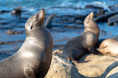 California sea lions at the beach in La Jolla with waves crashing