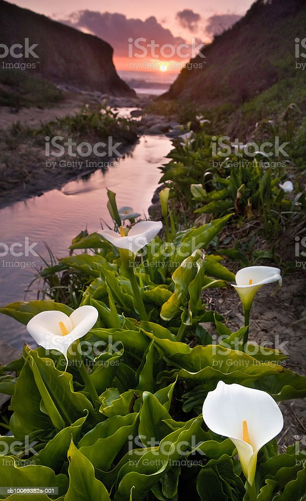 USA, California, Big Sur, Garrapata State Park, Calla Lilies royalty free stockfoto