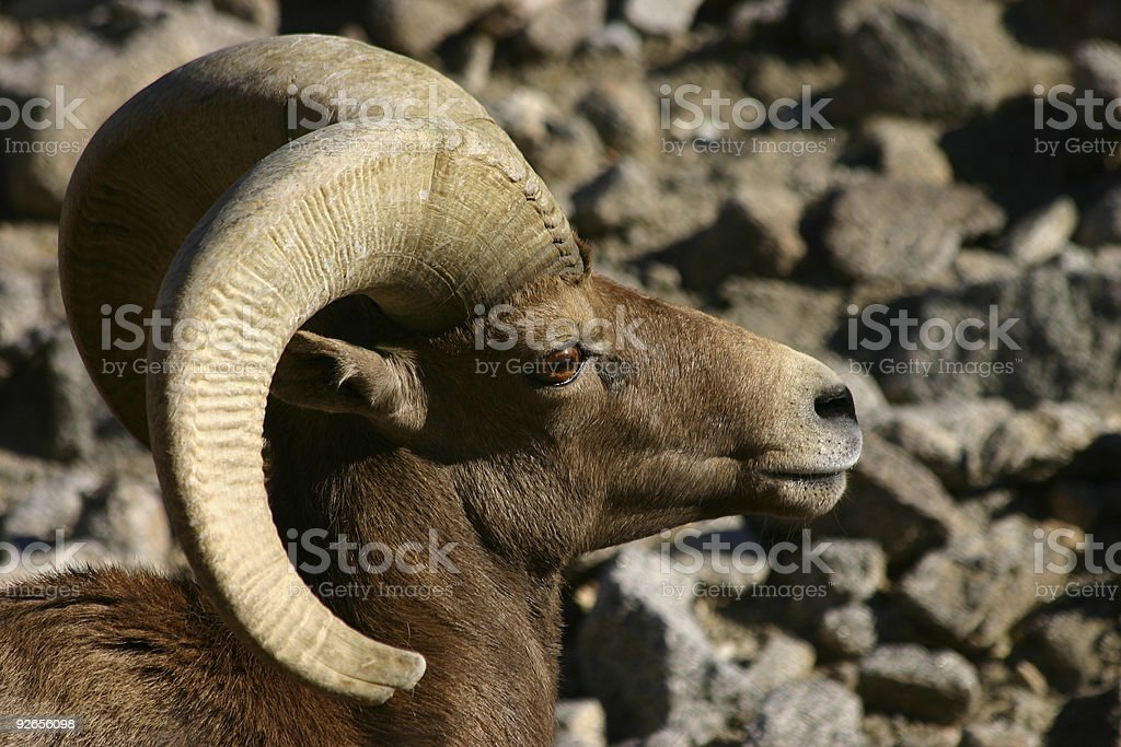 California Bighorn Ram royalty-free stock photo