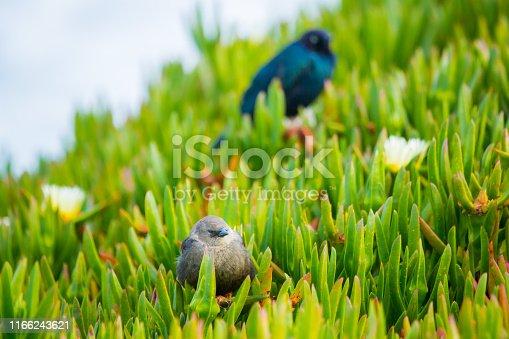 521620252istockphoto California Birds on Succulent 1166243621