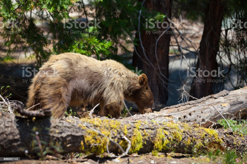 California black bear stock photo