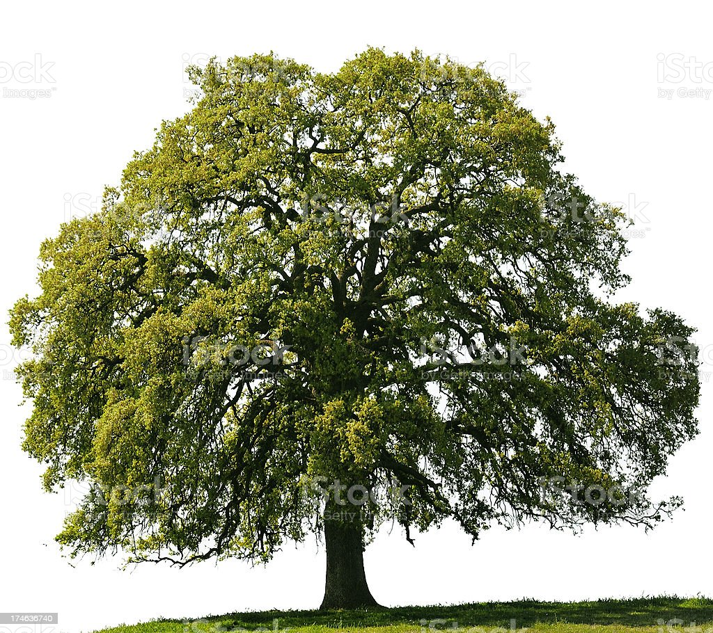 California Black Oak or Quercus kelloggii against a white sky. stock photo