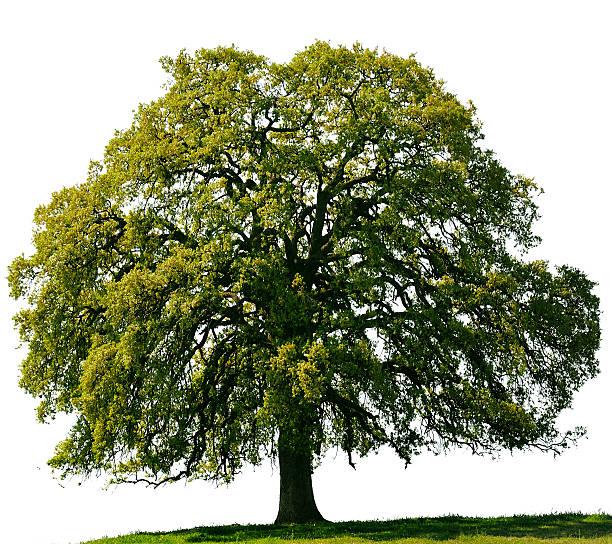 California Black Oak or Quercus kelloggii against a white sky. stock photo