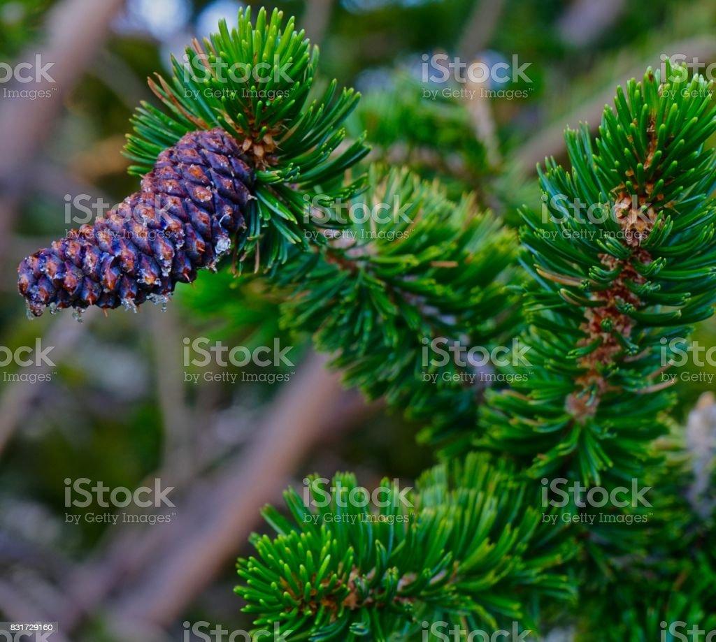 California Bristlecone Pine Cone stock photo