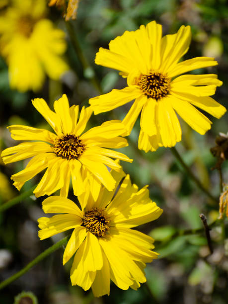 California brittlebush, Encelia californica stock photo