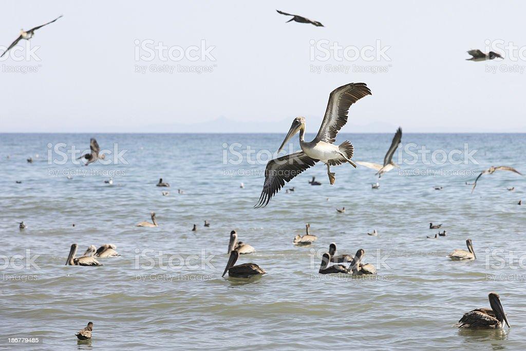 California Brown Pelican Pelecanus occidentalis Diving royalty-free stock photo