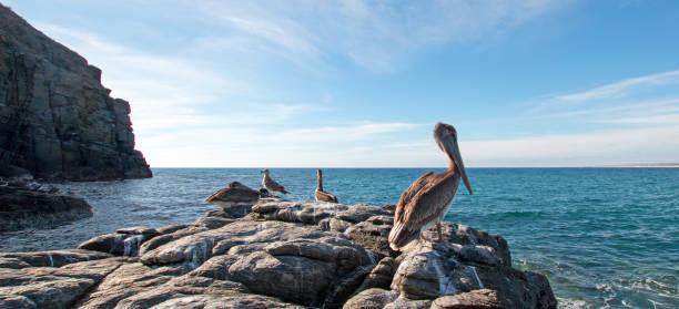 California Brown Pelican perching on rocky outcrop at Cerritos Beach at Punta Lobos in Baja California Mexico BCS stock photo