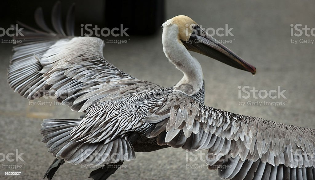 California Brown Pelican royalty-free stock photo