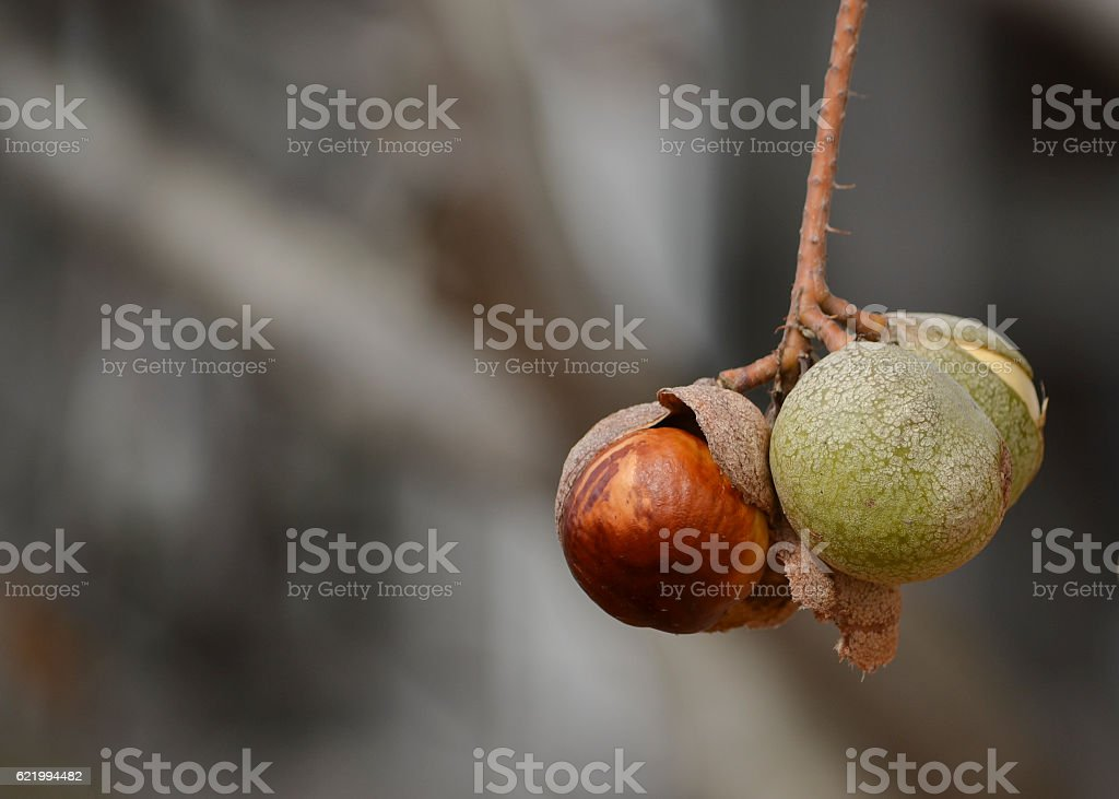 California buckeye seeds in nature stock photo