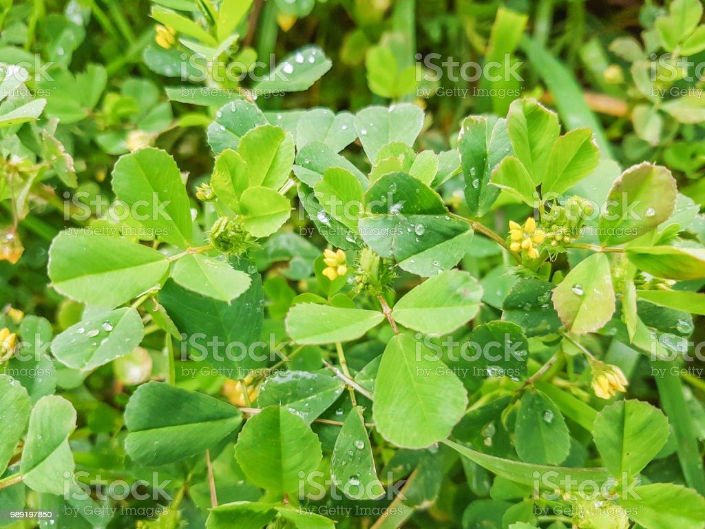California burclover o alfalfa de dentado - foto de stock